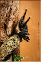 Avicularia-metalica-004