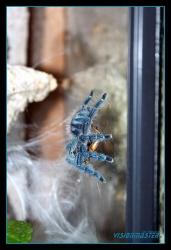 Avicularia_versicolor-07