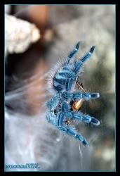 Avicularia_versicolor-08