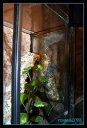 Avicularia_versicolor-10