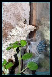 Avicularia_versicolor-11