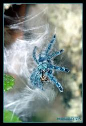 Avicularia_versicolor-12